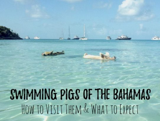 SWIMMING PIGS OF THE BAHAMAS: HOW TO VISIT THEM & WHAT TO EXPECT